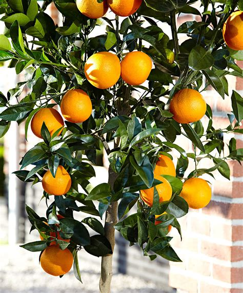 pianta fiori arancio acquista pianta di arancio bakker