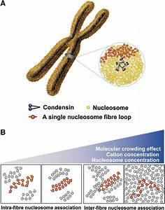 Chromosome Structure Model   A  Chromosomes Consist