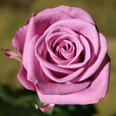 Ca Rose, Cool Water  Flowersfoliage Pinterest