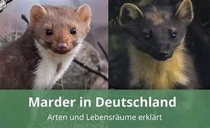 Marder Vom Auto Fernhalten : der marder in deutschland arten verhalten hintergr nde ~ Frokenaadalensverden.com Haus und Dekorationen