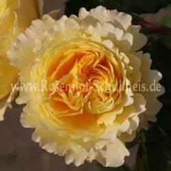 Alte Rosensorten Stark Duftend : skylight rosen online kaufen im rosenhof schultheis ~ Michelbontemps.com Haus und Dekorationen