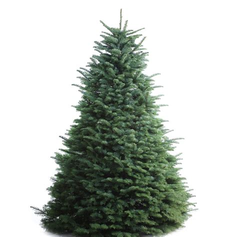 Shop 67 Ft Noble Fir Real Christmas Tree At Lowes