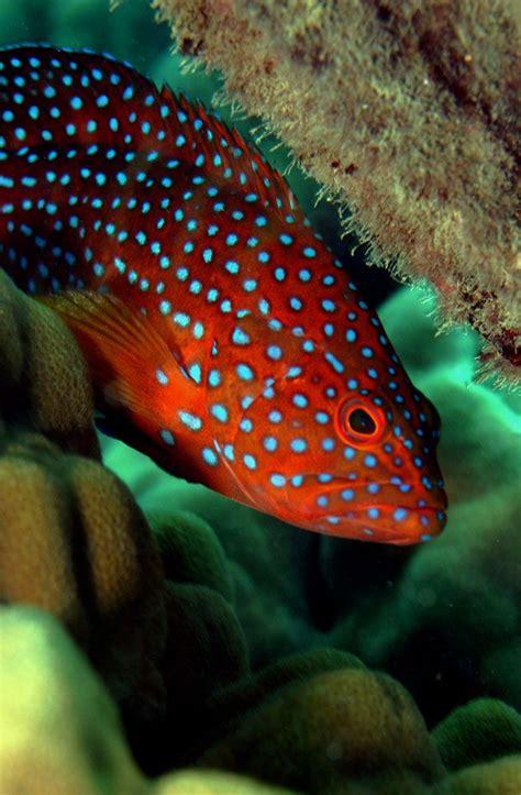 grouper fish creatures aquarium tomato ocean saltwater colorful sea