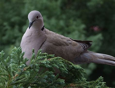 mourning dove life expectancy