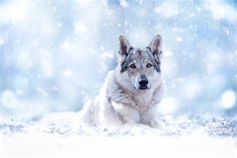 chien loup fond decran hd arriere plan  id
