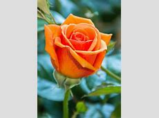 Orange Rose – WeNeedFun