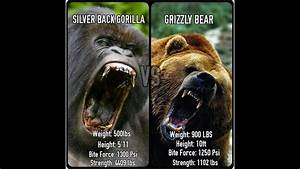 Grizzly Bear vs Silverback Gorilla: Who Would Win? - YouTube