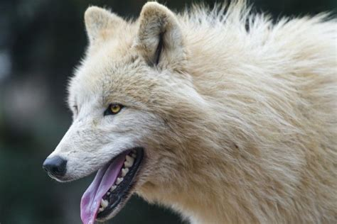 Arctic Wolf Wallpaper ·① Wallpapertag