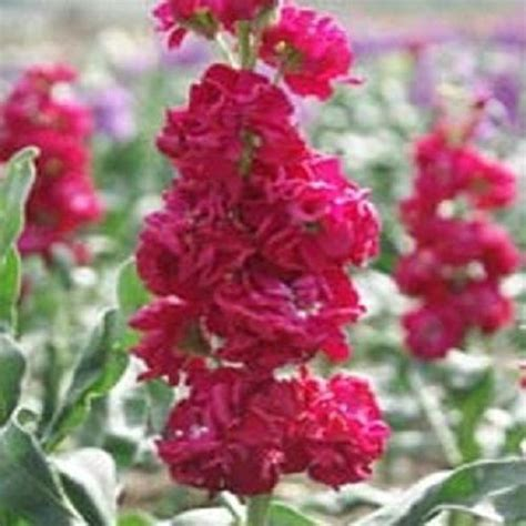 stock plant 40 evening scented stock crimson red flower seeds