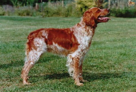 Brittany Spaniel Dog Breed Information, Buying Advice ...