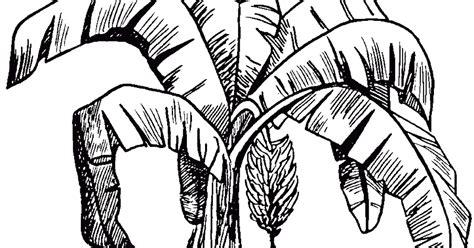 gambar mewarnai pohon pisang untuk anak