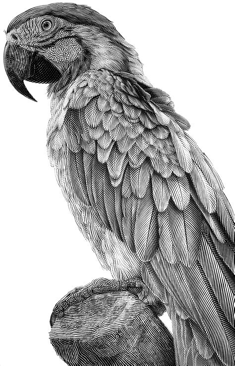Parrot, Black And White Illustration On Behance