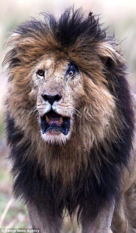 lion  left  permanently surprised  battle