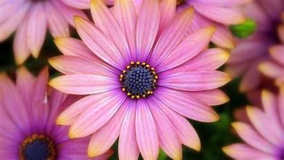 Gerbera Daisy Daisies Gerber Flowers Wallpapers Widescreen