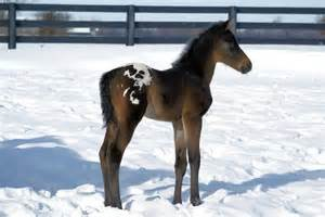 Horse Appaloosa Colt
