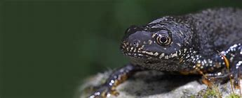 Image result for newt survey