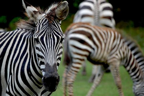 Zebra Family Photograph By Maggy Marsh