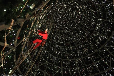 where is the biggest chistmas tree in the whole world britain s largest tree goes up in cheshire