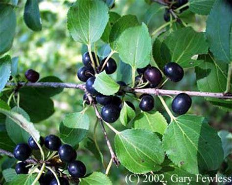 shrubs  wisconsin rhamnus cathartica european buckthorn