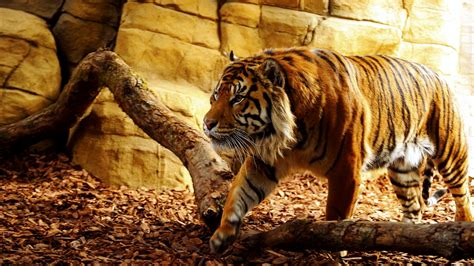Best Tiger Wallpapers HD / Desktop and Mobile Backgrounds