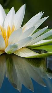 Wallpaper Lotus, 5k, 4k wallpaper, flowers, lake, river