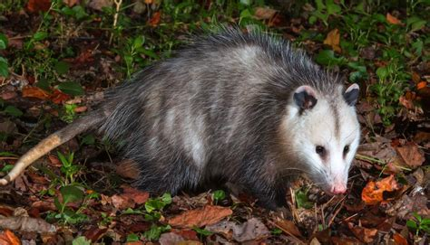 Possum Images Is There Anything Awesome About Possums News Gazette