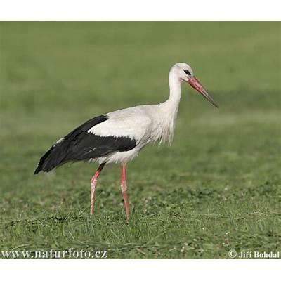 White Stork Photos ImagesNaturePhoto-CZ