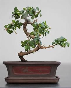 Pflege Von Bonsai Bäumchen : bonsai pflege ~ Sanjose-hotels-ca.com Haus und Dekorationen