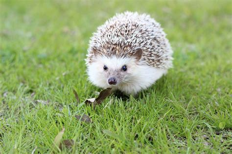 15 Hedgehog Facts For Kids  Love The Garden