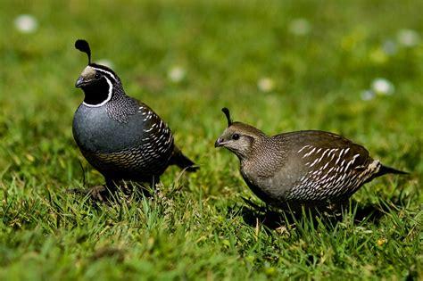 quail san francisco citizen
