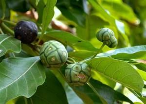 File:Morinda Coreia Fruit (DSC 9896).JPG - Wikimedia Commons Morinda