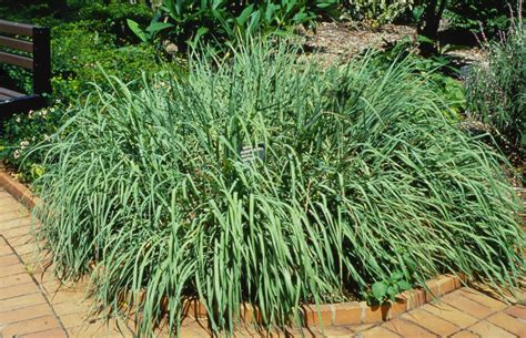 grass plant the grass with zest lemongrass the arid land homesteaders league
