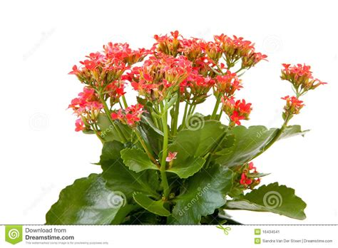 flowers to plant in pink kalanchoe flower plant stock image image 16434541