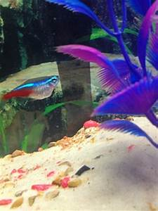 Big tetra belly Aquarium Advice Aquarium Forum munity