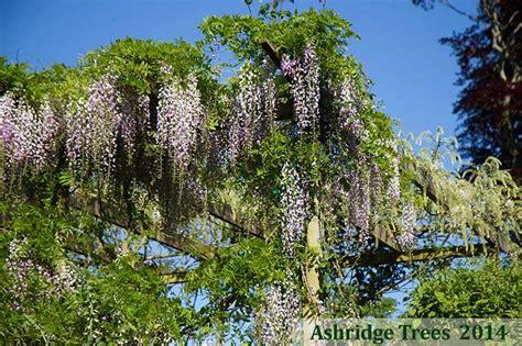 Wisteria Floribunda Macrobotrys, Climbing Plants For Sale