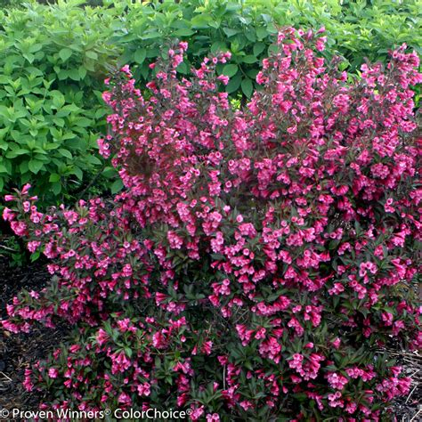flower shrubs wine roses 174 weigela florida images proven winners