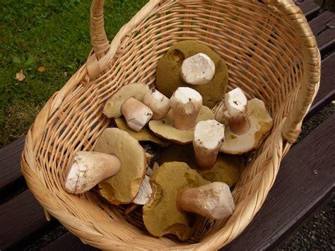 Re: Russula pulchella Russula exalbicans *PIC*