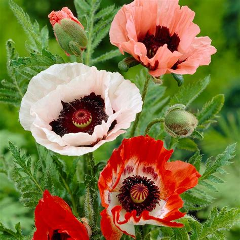 Kitchen Bath Ideas - zyverden poppies mixed roots pack of 5 11380 the home depot