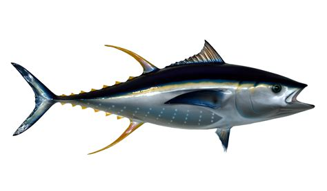 tuna fish tuna fish png transparent image pngpix