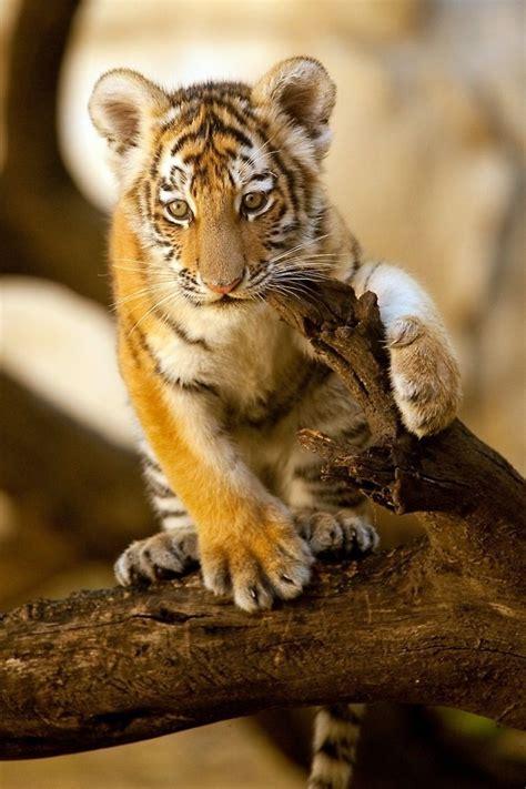 Tiger Cub Charles Nolder Wild Cats Cute Tigers