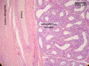 HISTOLOGY, Male Reproduction, testis