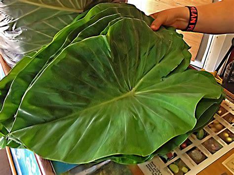 fresh taro leaf  lbs