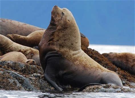 steller sea lion ocean connections