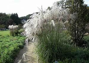 Welches Gras Als Sichtschutz : preiswerte sichtschutzpflanzung aus riesenchinaschilf ~ Sanjose-hotels-ca.com Haus und Dekorationen