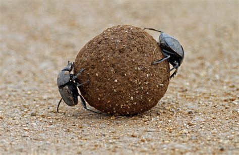 Dung Beetle   CRITTERFACTS
