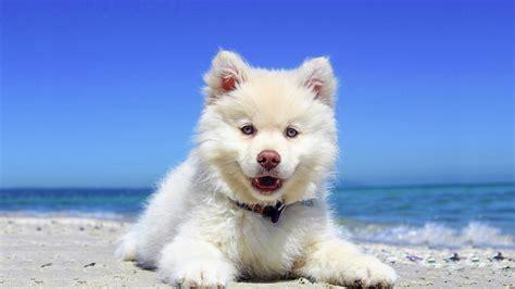hd beach puppy dog desktop wallpaper