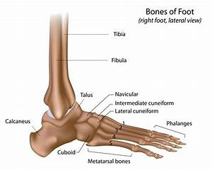 Anatomy Of Foot Ankle Anatomy Of Left Foot And Ankle