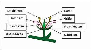 Aufbau Einer Kirschblüte : klassenarbeit zu bl ten und bl tenpflanzen ~ Frokenaadalensverden.com Haus und Dekorationen
