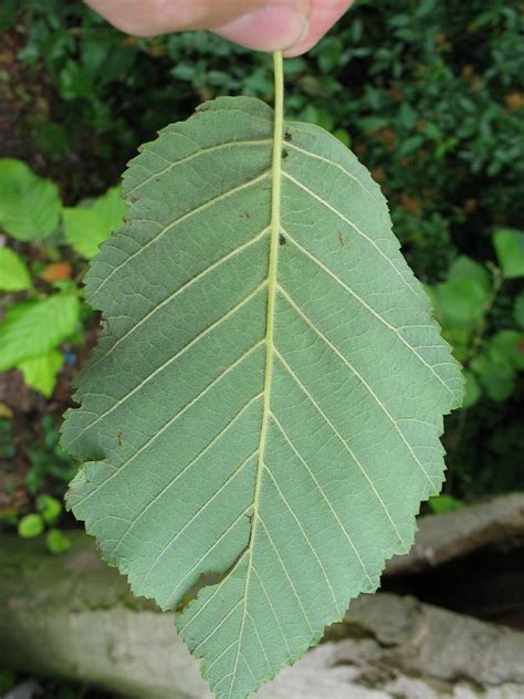 alnus alder dutch treeguide  wwwbomengidsnl european