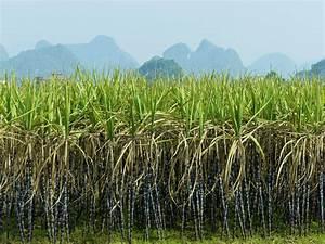 Sugar Cane Farmers  Outlook Optimistic